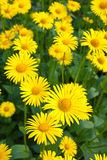 Doronicum Royalty Free Stock Photography