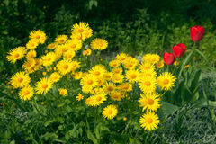 Doronicum Royalty Free Stock Photo