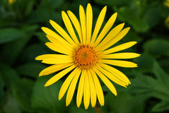 Doronicum. Yellow Doronicum flower Royalty Free Stock Photo