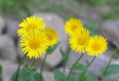 Doronicum blossoms. Yellow flowers grow in the flowerbed Royalty Free Stock Photo