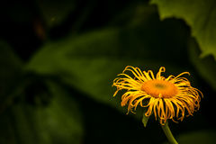 Doronicum flower Stock Image