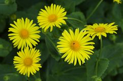 Doronicum flowers Royalty Free Stock Photo