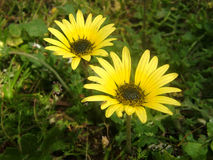 Doronicum, flowers closeup. Landscape nature. Stock Photos