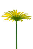 Doronicum giallo Fotografia Stock Libera da Diritti