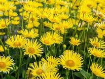 Doronicum grandiflorum in blossom Stock Images