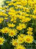 Doronicum grandiflorum in blossom Royalty Free Stock Photos