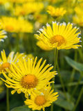 Doronicum grandiflorum in blossom Stock Photography