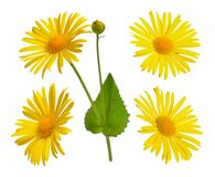 Doronicum, known as leopard`s-banes. Isolated set on white backg Stock Photography