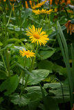 Doronicum orientale. In Hyde park royalty free stock images