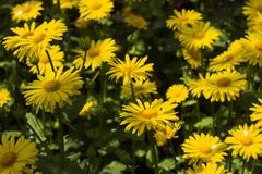 Doronicum orientale Leopard`s Bane - spring flower like a yellow daisy, beautiful background. Sunflower family Asteraceae.  stock image