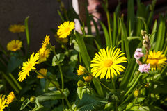 Doronicum Stock Photography
