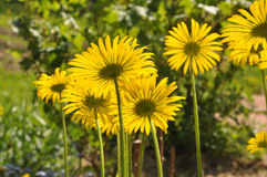 Doronicum Stock Photo