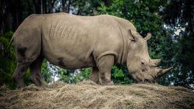 Dorosła afrykańska nosorożec zdjęcia royalty free