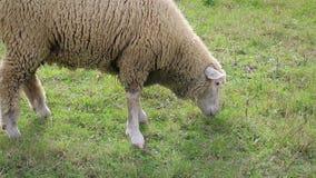 Dorosła barania łasowanie trawa w łące zbiory