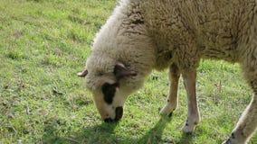 Dorosła barania łasowanie trawa w łące, boczny widok, szczegół zbiory wideo
