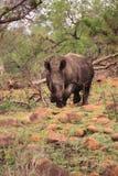 Dorosła dzika biała nosorożec Obrazy Royalty Free