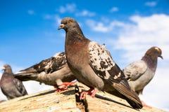 Dorosła dzika gołąbka na drewnianym dachu pod niebieskim niebem Fotografia Royalty Free