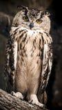 Dorosła Eurazjatycka orzeł sowa siedzi na gałąź fotografia stock