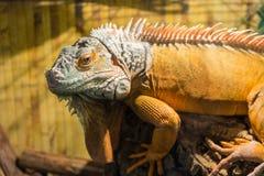 Dorosła iguana na drewnie Wielka męska iguana Obraz Stock