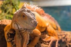 Dorosła iguana na drewnie Wielka męska iguana Fotografia Royalty Free