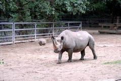 Dorosła nosorożec przy zoo Berlin w Niemcy obraz stock