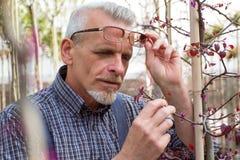 Dorosła ogrodniczka sprawdza rośliien choroby Ręki trzyma pastylkę W szkłach, broda, jest ubranym kombinezony W ogródzie obraz stock