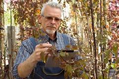 Dorosła ogrodniczka trzyma pastylkę sprawdza rolnego żniwo ręki W szkłach, broda, jest ubranym kombinezony na obraz stock