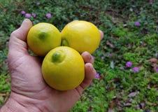 Dorosła samiec Trzyma Trzy cytryny Nad tło zieleni I purpur kwiaty zdjęcia stock