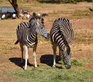 Dorosłe zebry je suchej trawy obraz stock