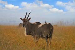 Dorosłego Eland pozycja na suchej Afrykańskiej sawannie z chmurnym niebem bławym kolorem żółtym i suszył trawy Zdjęcia Royalty Free