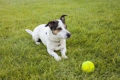 Dorosłego Jack Russell pies kłaść w trawie Obrazy Stock