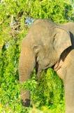 dorosłego słonia indyjski męski dziki Zdjęcia Stock