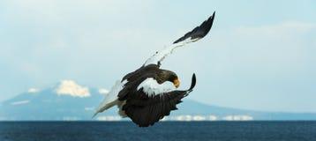 Dorosłego Steller dennego orła lądowanie zdjęcia royalty free