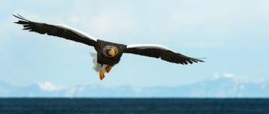 Dorosłego Steller dennego orła lądowanie zdjęcie stock