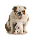 Dorosłego szczeniak pies i fotografia royalty free