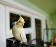 Dorosłej samiec Cockatiel widzieć umieszczał na zewnątrz jego klatki fotografia stock
