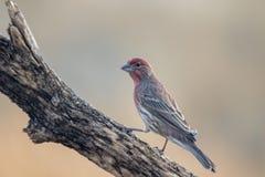 Dorosłej samiec Domowy Finch umieszczał na gałąź fotografia stock