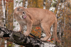 Dorosłej samiec kuguar & x28; Pumy concolor& x29; Liźnięcia Ostrożnie wprowadzać Patrzeć Prawi Obraz Stock