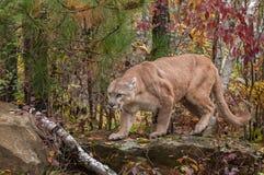 Dorosłej samiec kuguar & x28; Pumy concolor& x29; Menda Przez skałę Zdjęcie Royalty Free