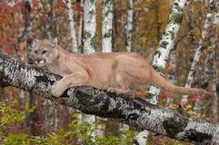 Dorosłej samiec kuguar & x28; Pumy concolor& x29; Przylega brzozy gałąź Zdjęcia Stock