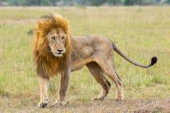 Dorosłej samiec lew W primie życie Fotografia Royalty Free