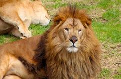 Dorosłej samiec lwa odpoczywać Obrazy Royalty Free