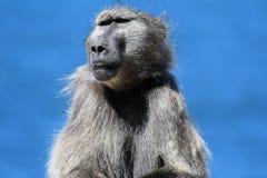 Dorosłej samiec pawian siedzi na brzeg morze afryce kanonkop słynnych góry do południowego malowniczego winnicę wiosna Obrazy Royalty Free