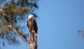 Dorosły łysego orła Haliaeetus leucocephalus stojaków strażnik Fotografia Stock