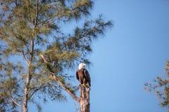 Dorosły łysego orła Haliaeetus leucocephalus stojaków strażnik Zdjęcia Stock
