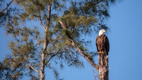Dorosły łysego orła Haliaeetus leucocephalus stojaków strażnik Zdjęcie Royalty Free