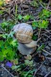 Dorosły ślimaczek w lasowej trawie obraz stock