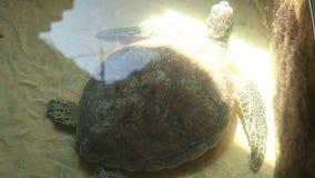 Dorosły żółwia dopłynięcie w basenie w konserwacja terenie w Sri Lanka zdjęcie wideo