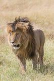 Dorosły Afrykański lew Obrazy Royalty Free