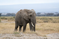 Dorosły afrykanina Bush słoń, kobieta Obrazy Royalty Free